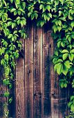 picture of ivy vine  - Wooden fence covered in natural ivy vines frame - JPG
