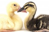 stock photo of comrades  - American pekin duckling and in studio shot photo - JPG
