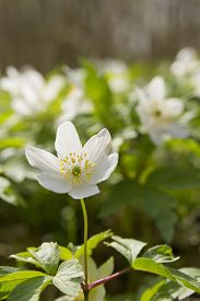 foto of windflowers  - wallpaper of close up of white windflower with selective focus and shallow DOF - JPG