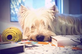 picture of westie  - Dog sleeps on table with a toy  and a book near - JPG