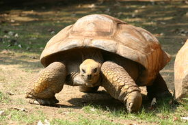 pic of the hare tortoise  - slow moving tortoise at national zoo in washington d - JPG