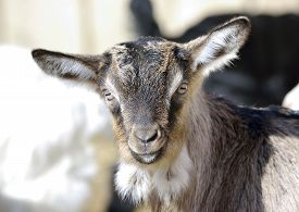picture of baby goat  - Baby Goat portrait at farm in early spring - JPG