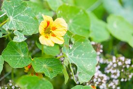 pic of nasturtium  - Beautiful nasturtium flowers blooming in garden - JPG