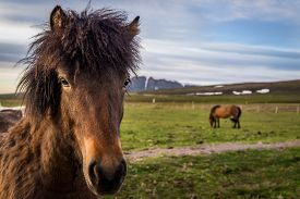 image of big horse  - Icelandic horses in the northern part of the country near Husavik - JPG