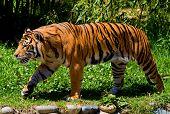 Gran tigre paseando por un jardín/bosque