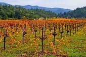 Vineyard in Napa Valley in Autumn