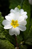 stock photo of cowslip  - primula - JPG