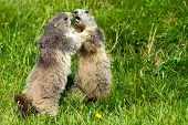 Two marmots fighting together