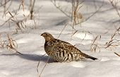 Sharp Tailed Grouse In Winter Canada