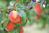 Orchard Peaches On Tree