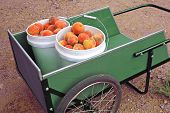 Fresh Peaches In A Wagon