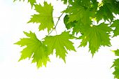 stock photo of maple tree  - Maple tree leaves Close - JPG