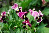 Flower - Violaceae - Viola tricolor subalpina Gaud