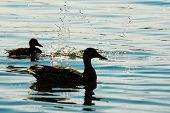 Ducks In The Sunset