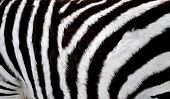 Close view on the skin of a zebra