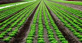 Rows of salad on an agriculture field