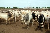 image of zebu  - Zebu cattle at a huge ranch in Brazil - JPG