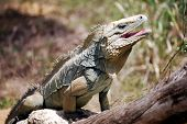 Rare Blue Iguana, also known as Grand Cayman Iguana (Cyclura lewisi) on the island of Grand Cayman poster