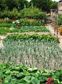 A vegetable patch showing rows of home-grown produce
