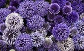 A background of allium flower heads
