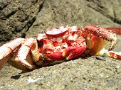 Red Crab On The Stone