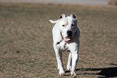 Dogo Argentino Mastiff