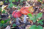 Amanita Muscaria. Red Poisonous Fly Agaric Mushrooms In Forest Among Dry Leaves. Psychoactive And Me poster