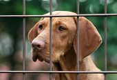 picture of vizsla  - Young Hungarian vizsla dog behind a fence - JPG