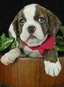 Sweet Little Bulldog Puppy