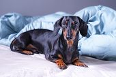 Cute Little Dachshund Dog, Black And Tan, Lying On Bed. Pets Friendly  Hotel Or Home Room. poster