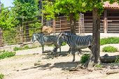 Zebra Animal (latin Name Equus). Portrait Of African Animal In The Park. Animal With White And Black poster