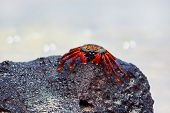 Sally lightfoot crab on Galapagos