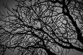 Silhouette Dead Tree On Dark Dramatic Grey Sky And Clouds Background For  Scary, Death, And Peace Co poster