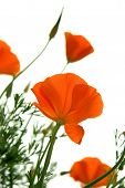 image of poppy flower  - Beautiful California Poppys isolated against white background - JPG