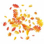 Oak, Maple, Wild Ash Rowan Leaves Vector, Autumn Foliage On White Background. Red Gold Yellow Ash An poster