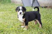 Swiss Appenzeller Dog Puppy Sitting In The Garden poster