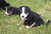 Swiss Appenzeller Dog Puppies Sitting In The Garden poster