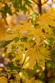 Yellow Maple Leaves. Autumn Maple Leaves Fall, Autumn Nature Concept. Natural Landscape. Maple Branc poster