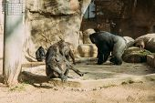 Chimps And Gorilla In Zoological Park, Barcelona, Spain poster