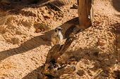 Funny Suricate In Zoological Park, Barcelona, Spain poster