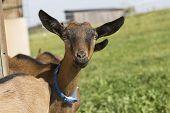 Portrait Of Young Pinzgauer Goat Outdoor In Summertime poster