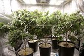 Marijuana Farming. Marijuana and Cannabis growing indoors. Marijuana Grow Tent with lights. Medical  poster