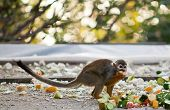 Squirrel Monkey .