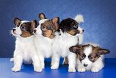 stock photo of epagneul  - Four Papillon Puppies on a blue background - JPG