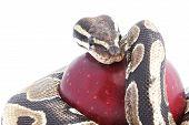 Schlange und apple