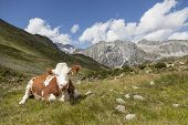Brown cow resting in meadow, alpine landscape of Hochgall in background, border of Austria, Tyrol/Italy.