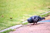 Pigeon Standing In Public Park