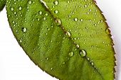 Macro Of Rain Drop On Leaf Isolated