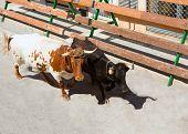 Bull at street traditional fest in Spain running of the bulls