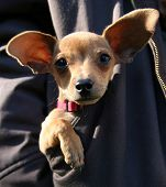 picture of applehead  - a cute puppy in a pocket of a jacket - JPG